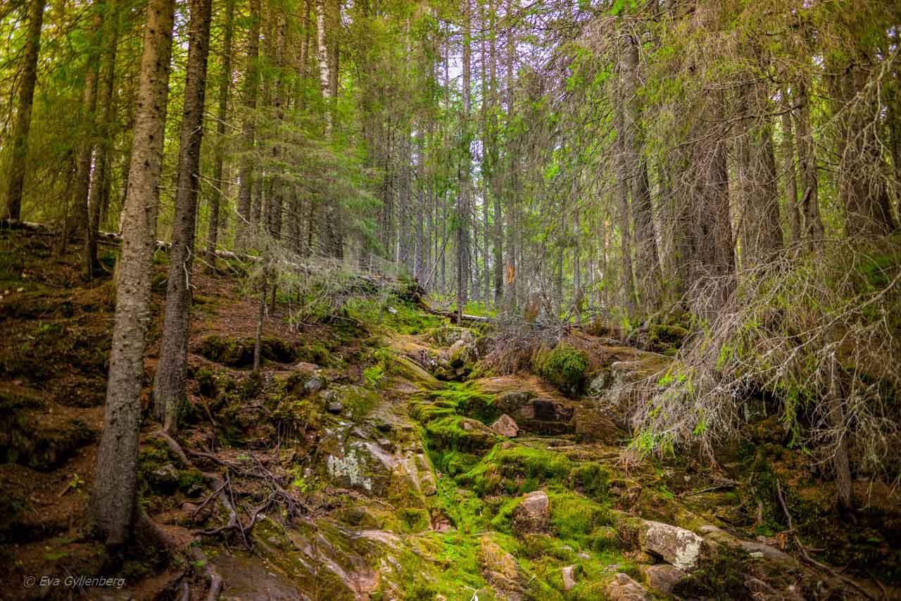 Mossa i Skuleskogen