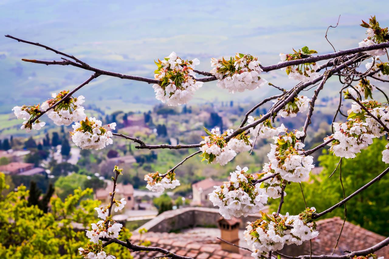 Äppelblom i Volterra