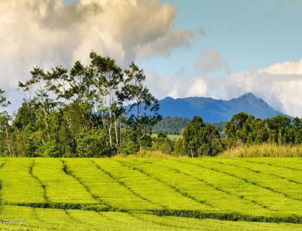 Nerada teplantage - Queensland