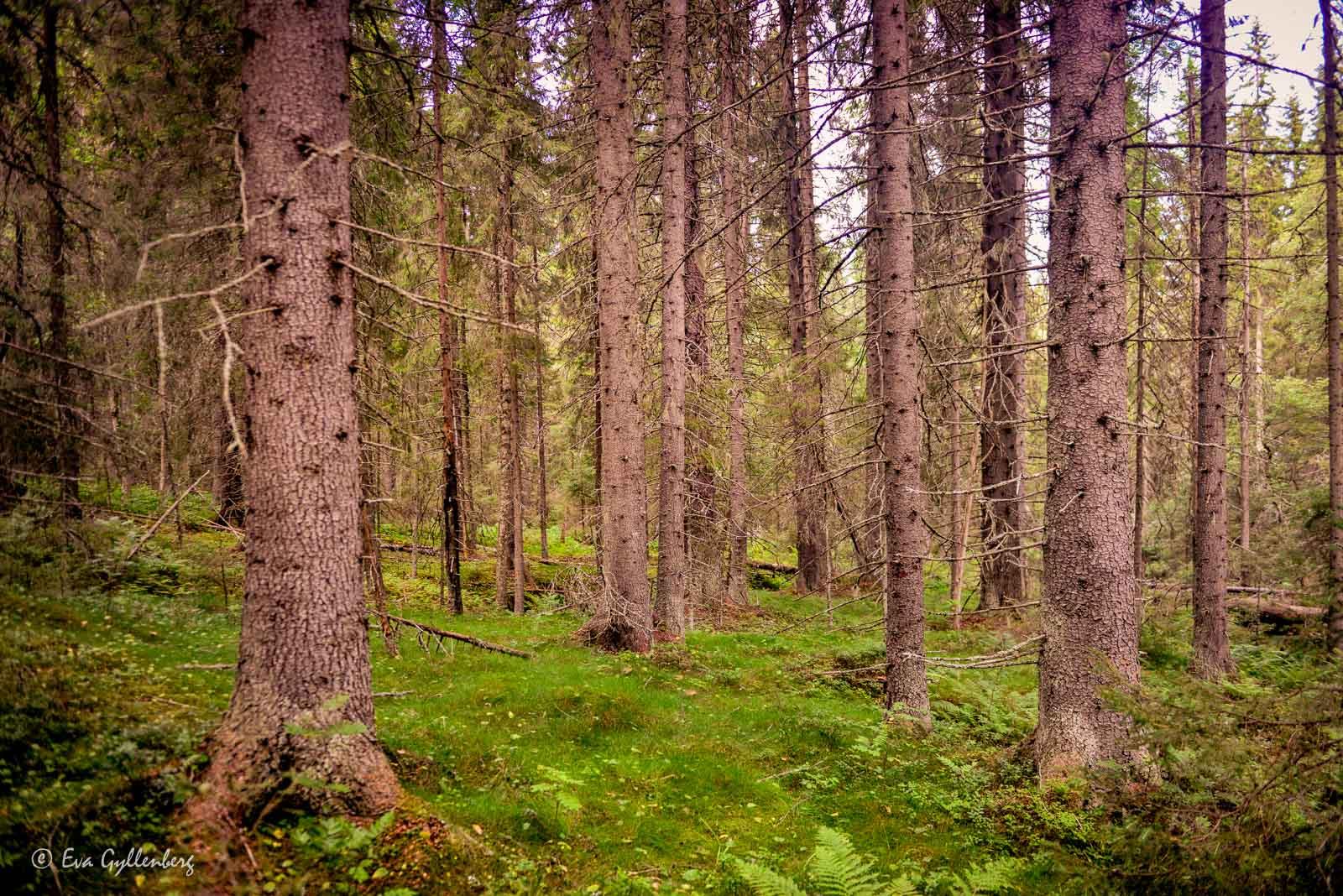 Fin skog utefter Höga Kusten-leden