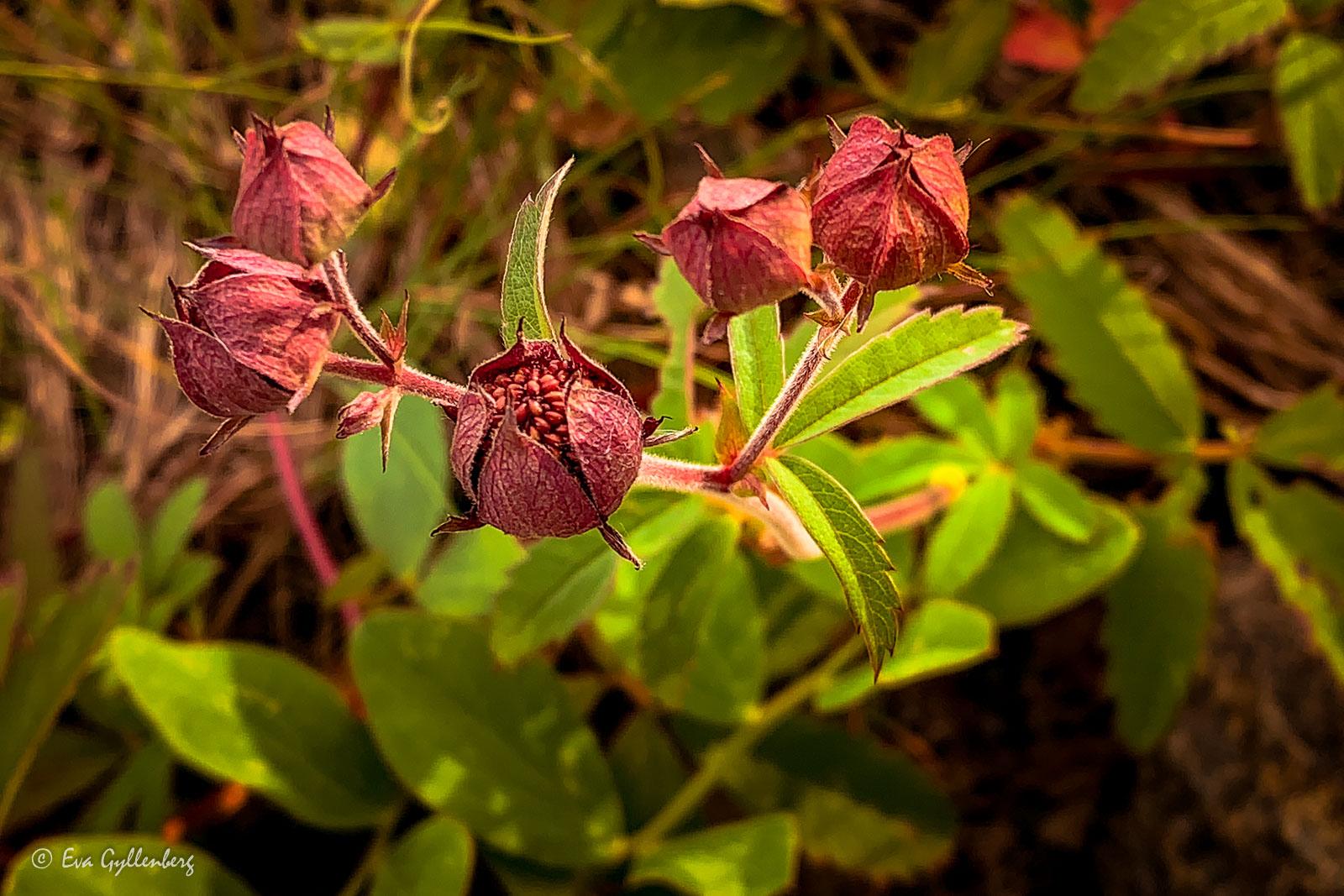 Röda blommor utefter Höga Kusten-leden