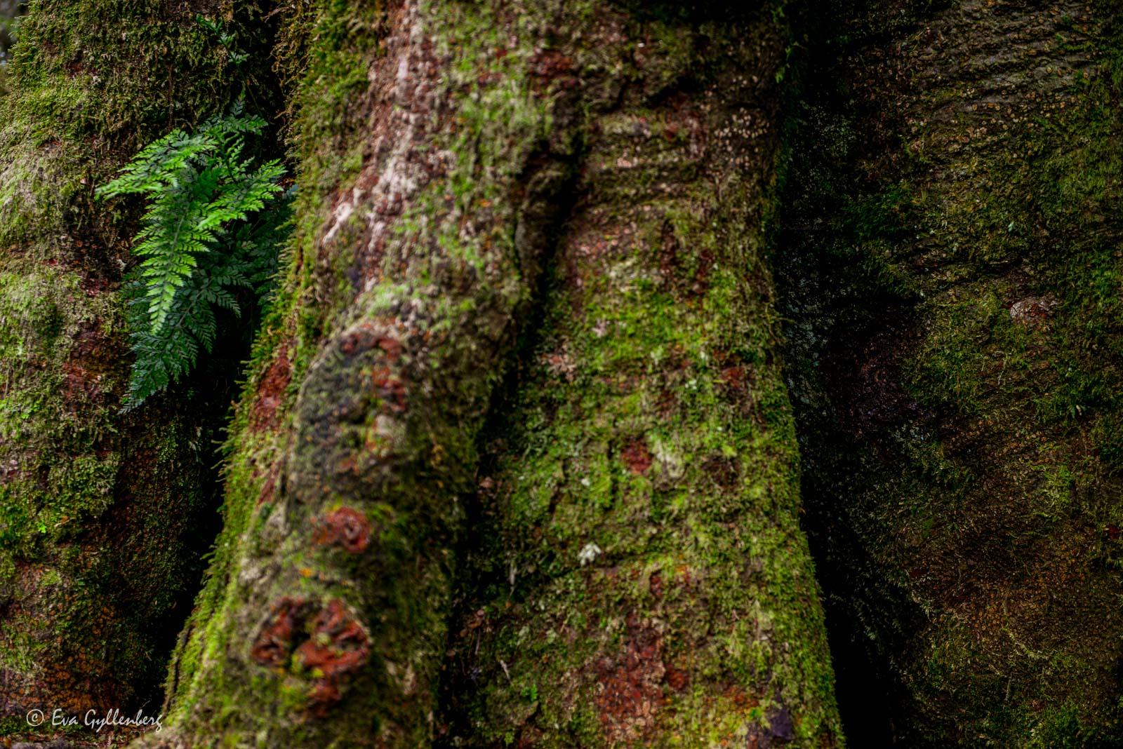 Knotiga rötter i Mount Aspiring