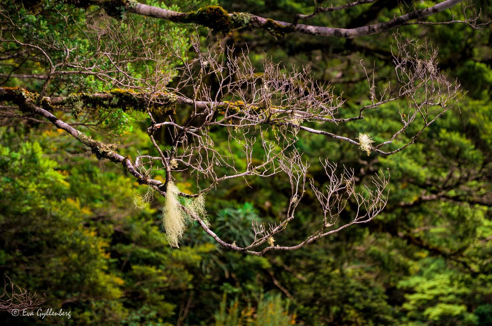 Mossiga grenar i Mount Aspiring