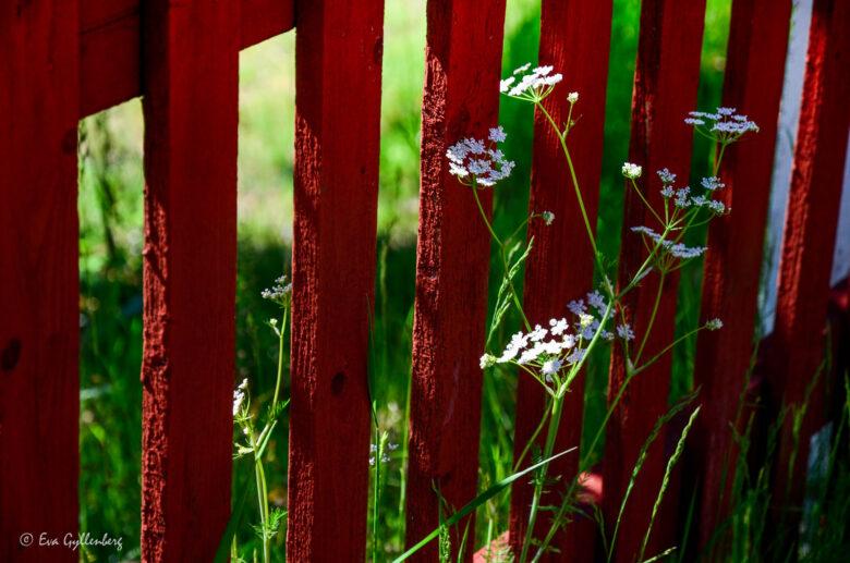 Rött staket på Ulvön