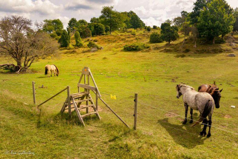 Hästar vid Brösarps backar