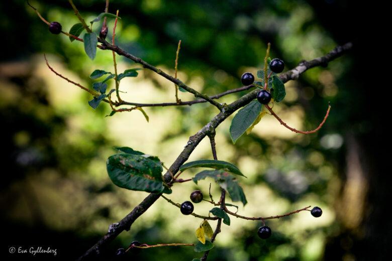 Bär i träd i Skåne