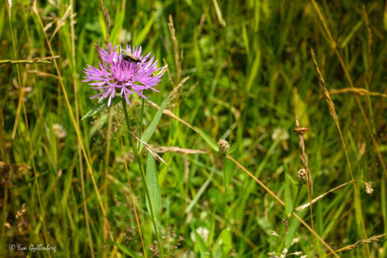 Blommande äng med insekter