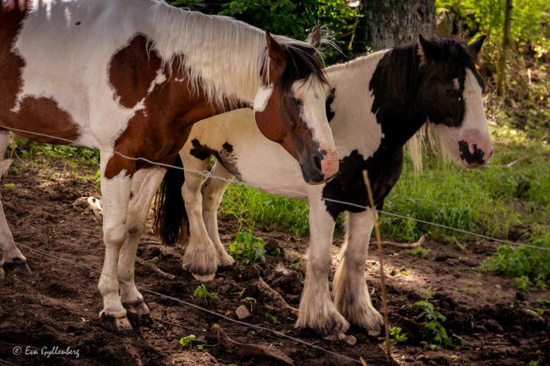 Hästar vid Glimmeboda gård