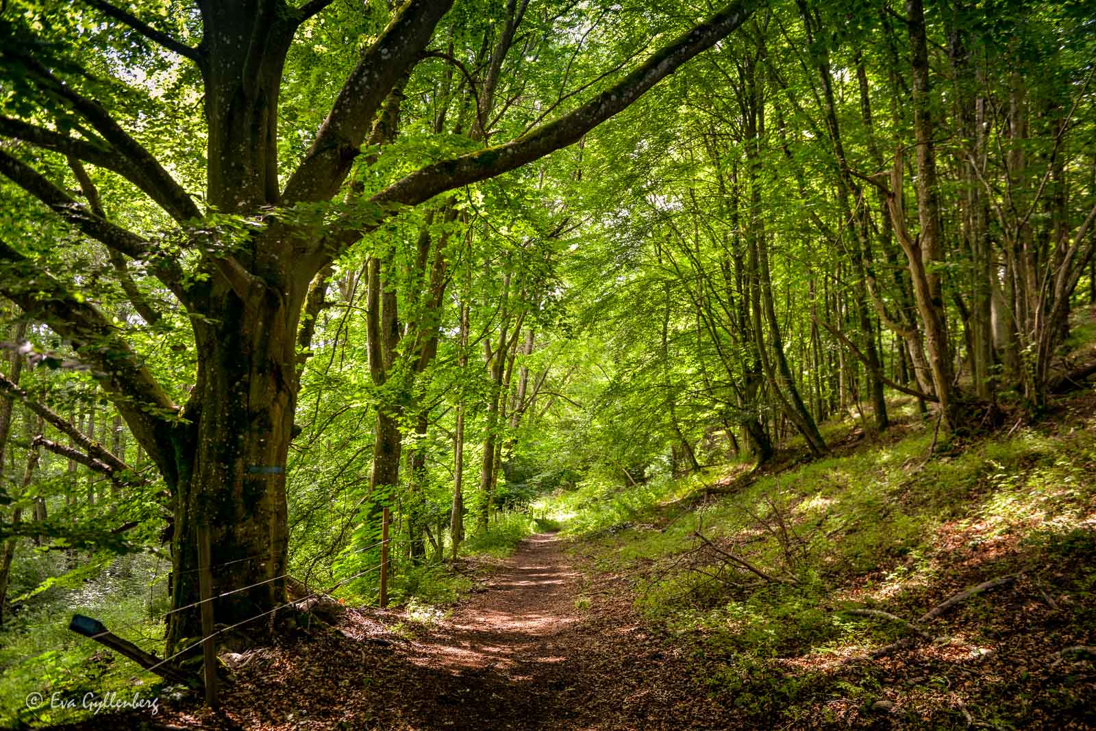 Bokskogen vid Brösarps backar