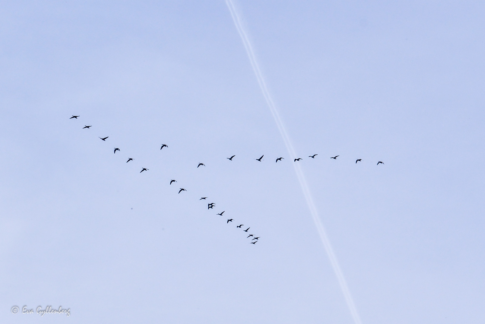 Flyttfåglar över Isternäset