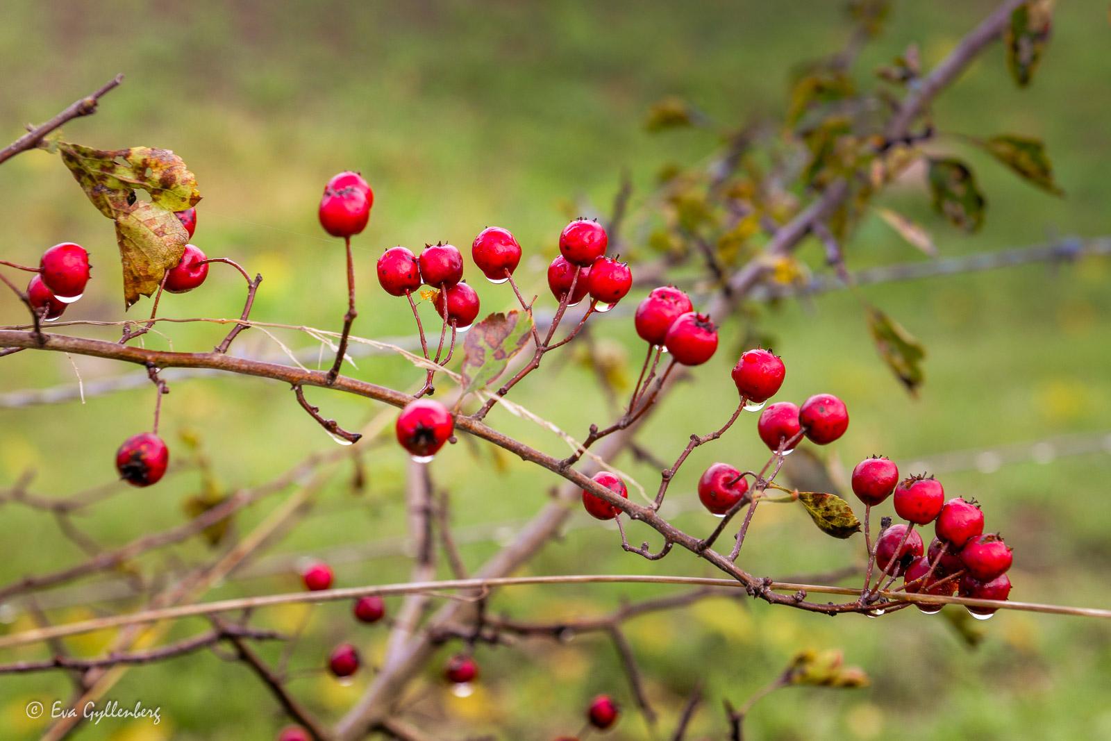Röda bär utefter Linnérundan