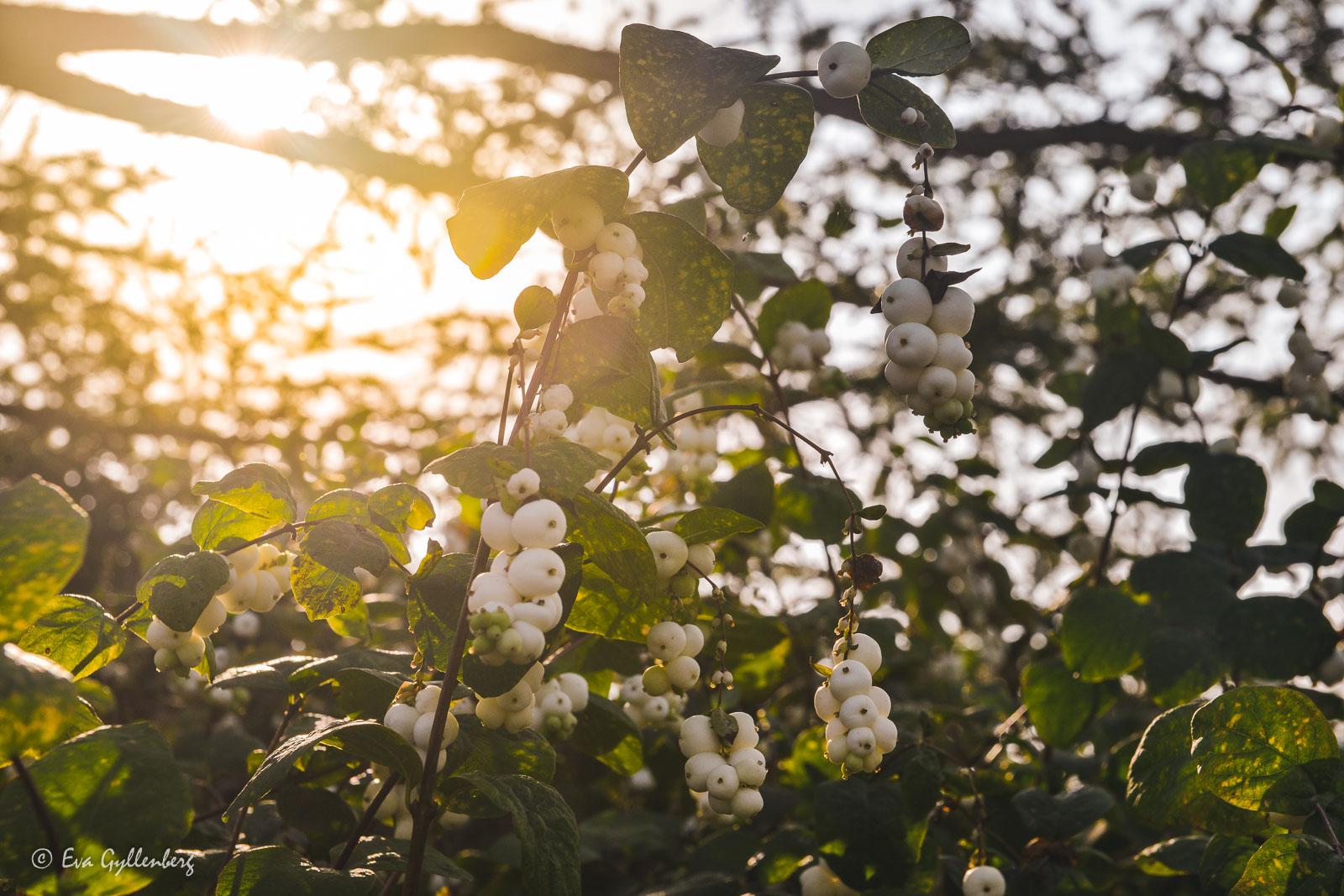Växter i örtagården