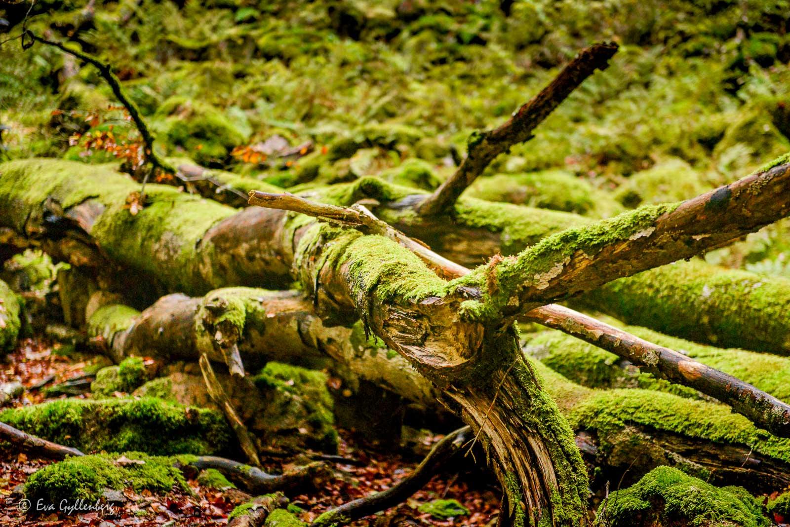 Mossklädda trädstockar