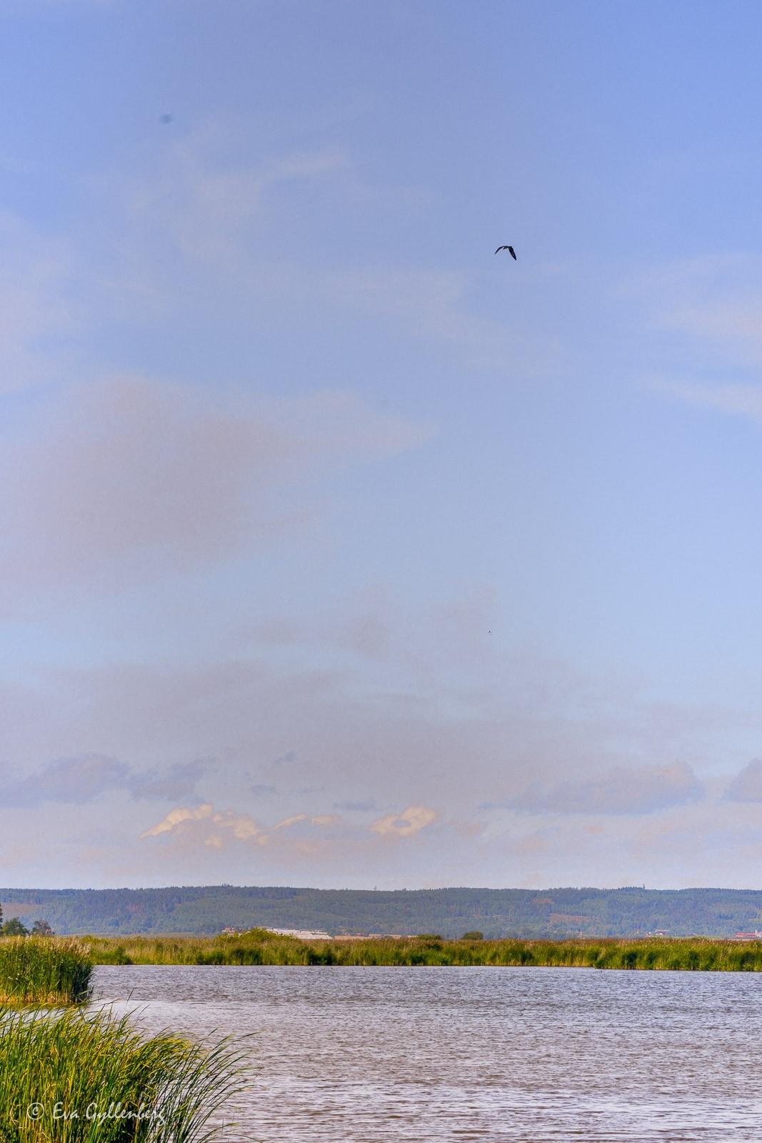 Rovfågel vid Tåkern