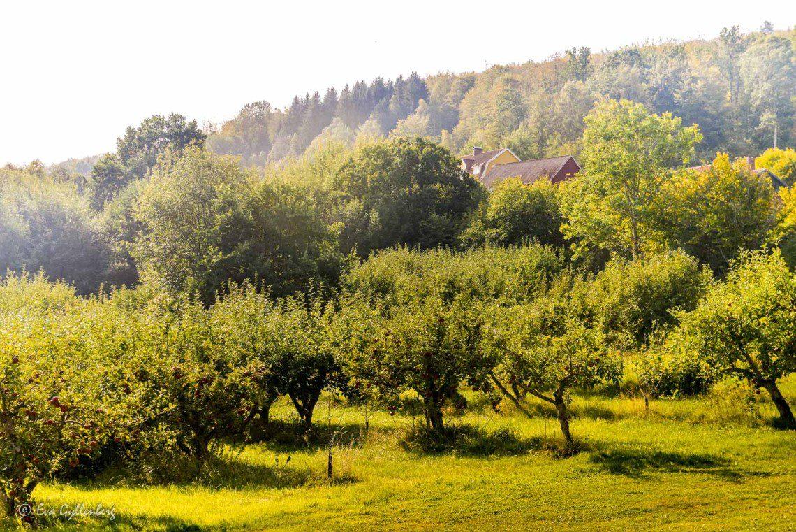 Äppelodlingar i Vånga
