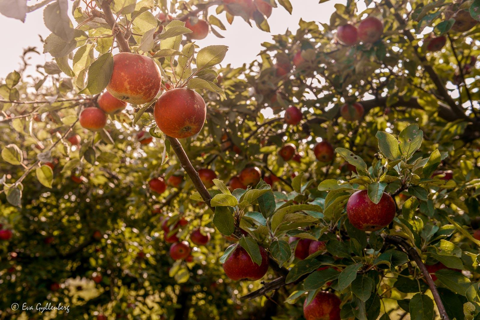 Äppelodlingar