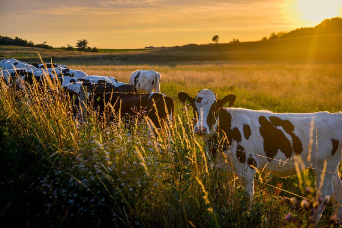 Kor i solnedgång i Skåne