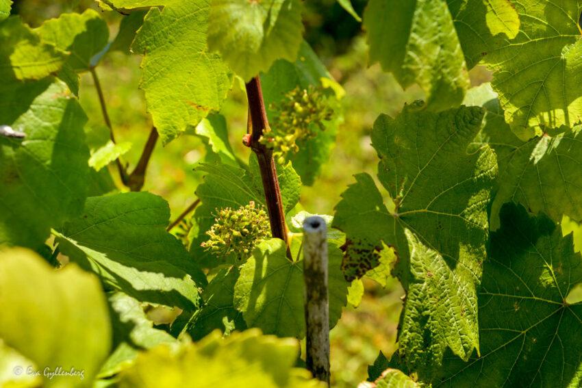 Små små vindruvor på Nordic Sea Winery
