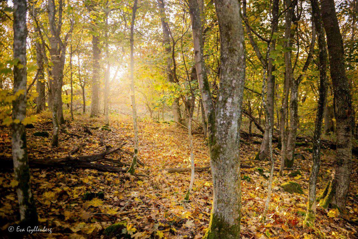 Höstsol i Stenshuvuds skog
