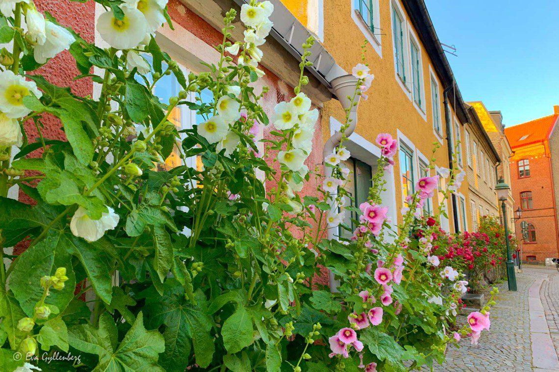 Stockrosor vid fasaden i gamla Lund