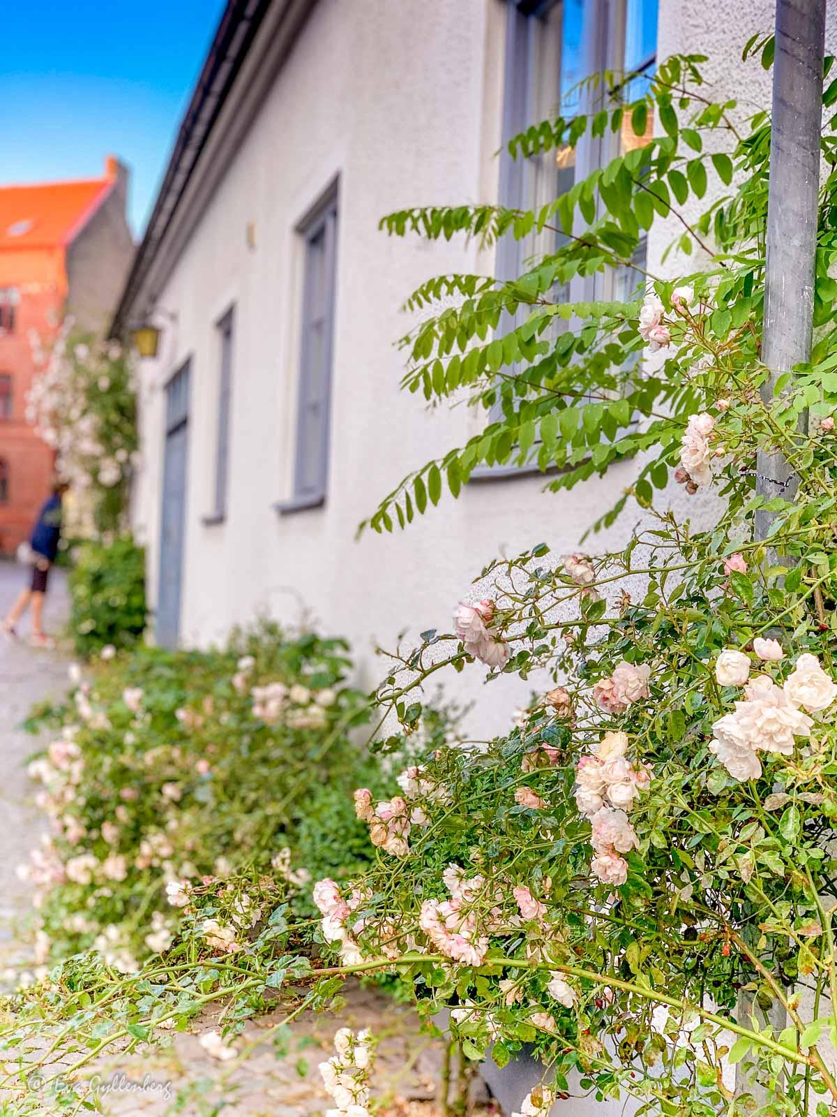 Ljusrosa rosor på Adelgatan i Lund