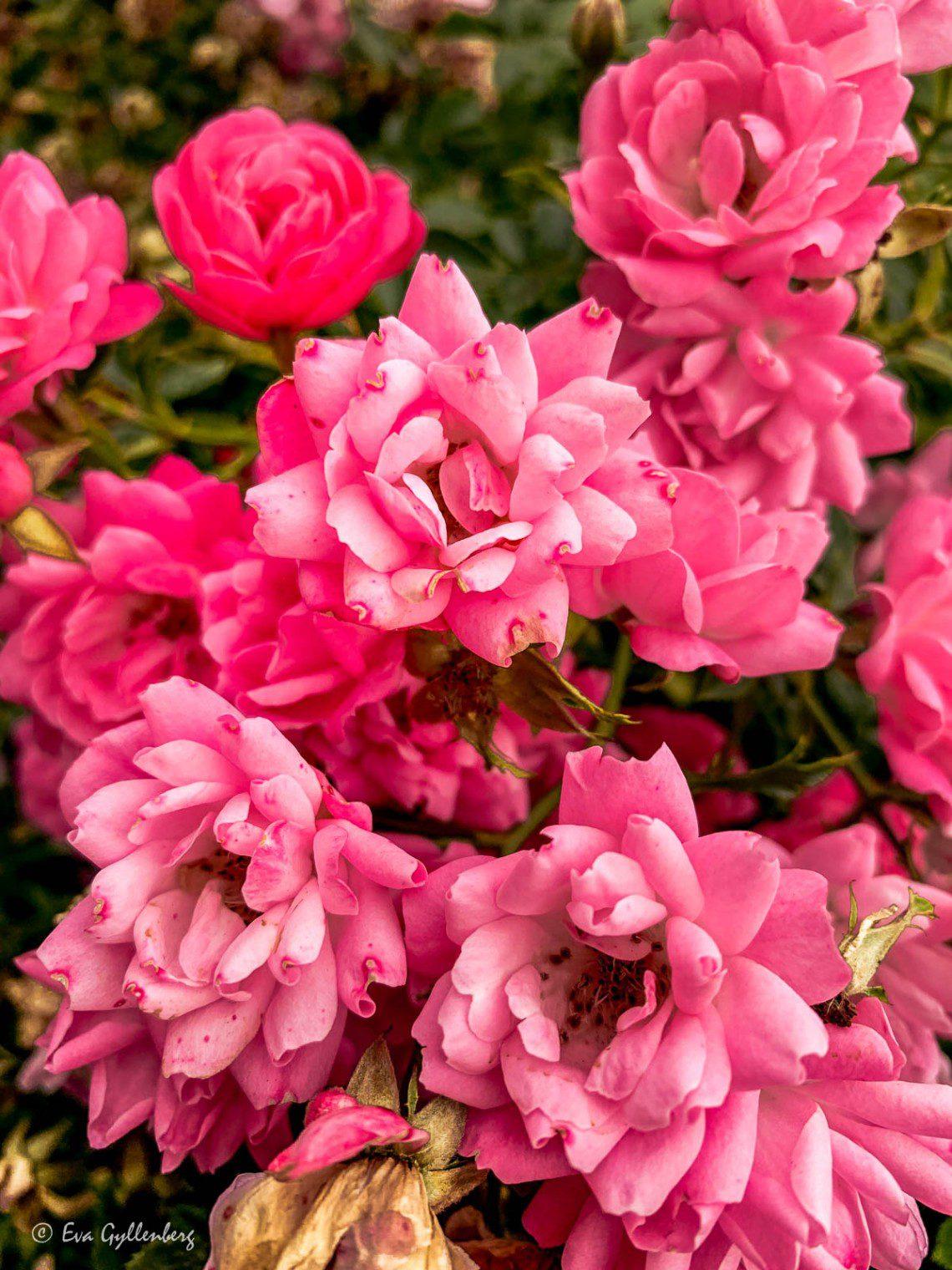 Mörkrosa rosor i Lund