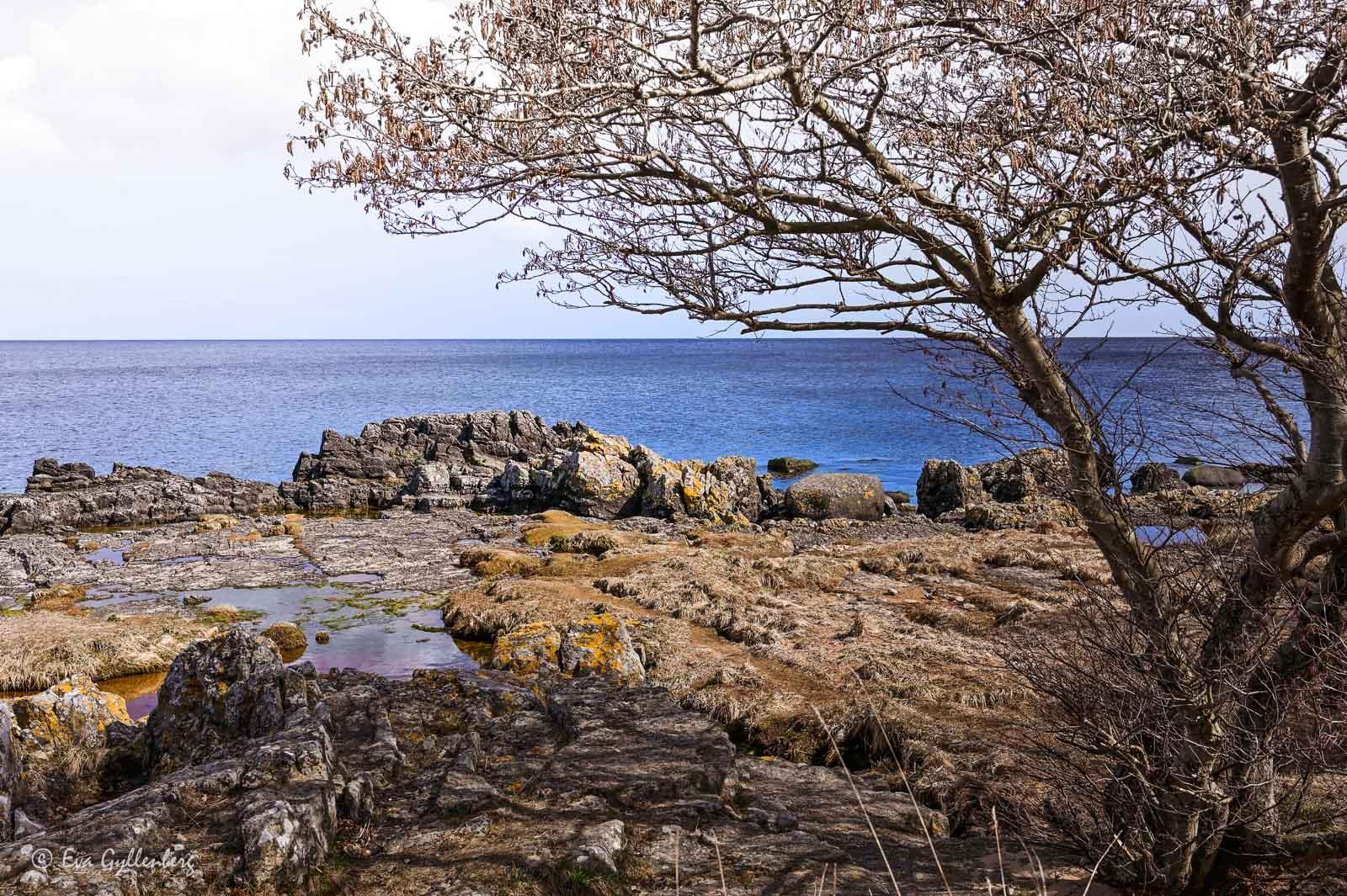 Ensamt träd vid havet vid Prästens badkar