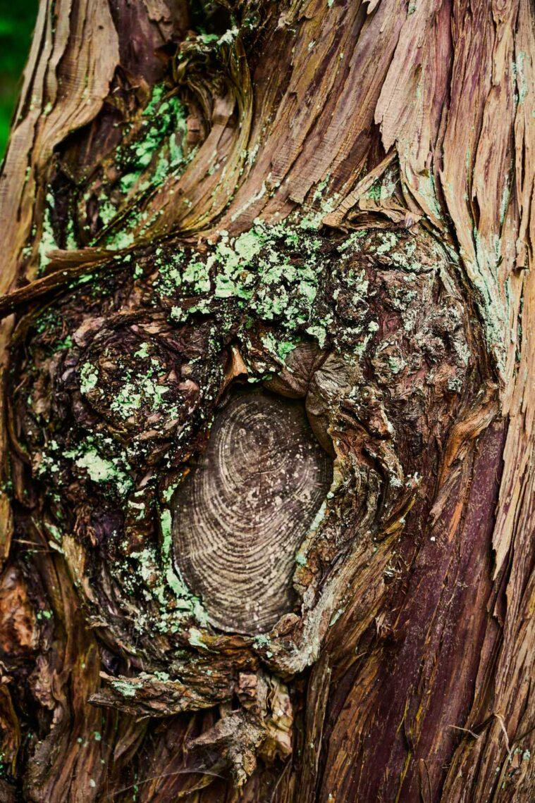 Bark på träd i den japanska trädgården