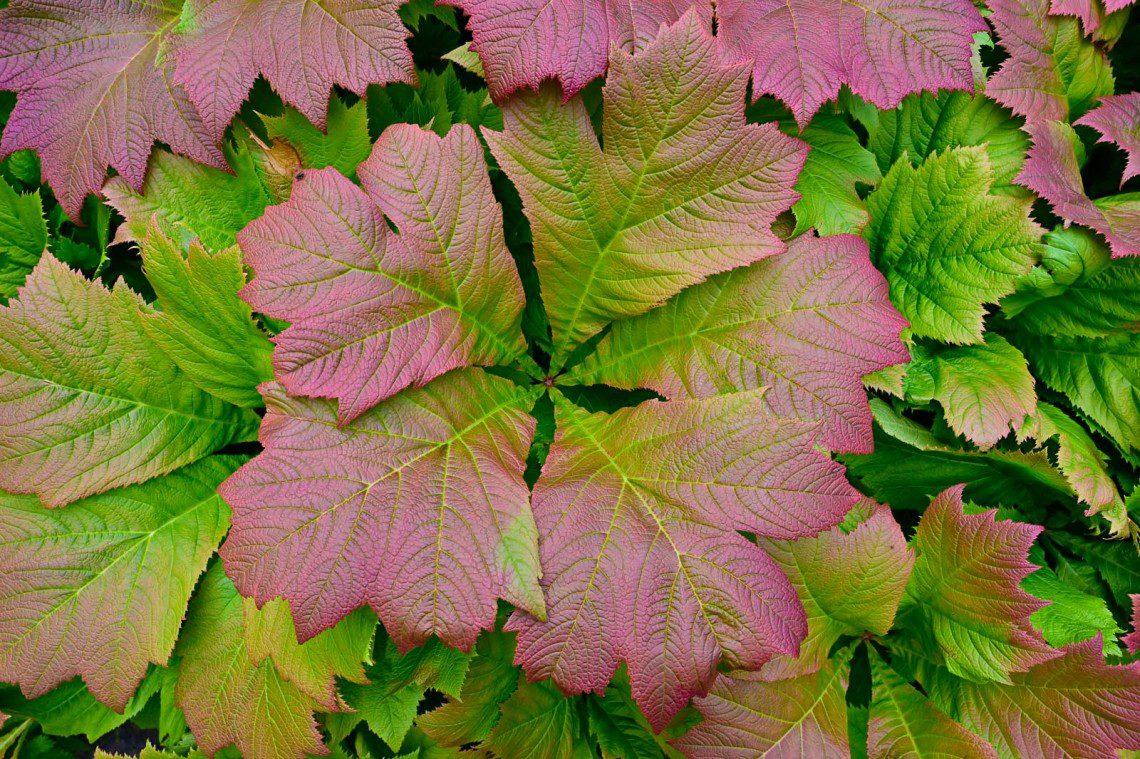 Röda och gröna stora blad