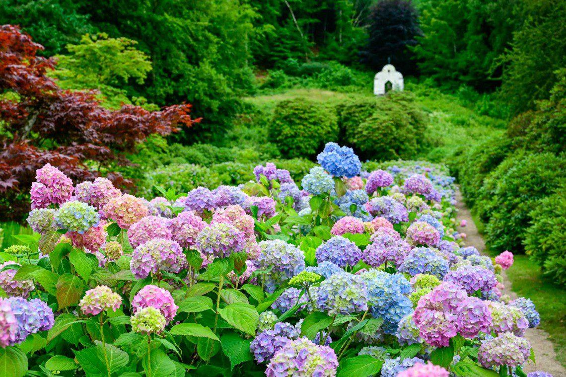 Rosa och blå hortensior