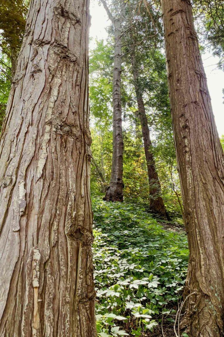Cypressträdstammar i den japanska trädgården