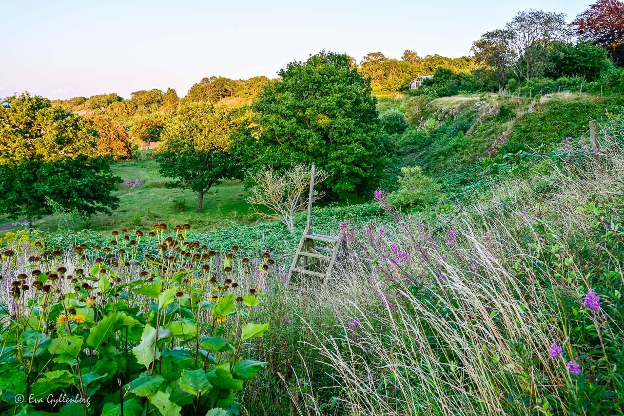 Gröna kullar och blommor utanför Arild