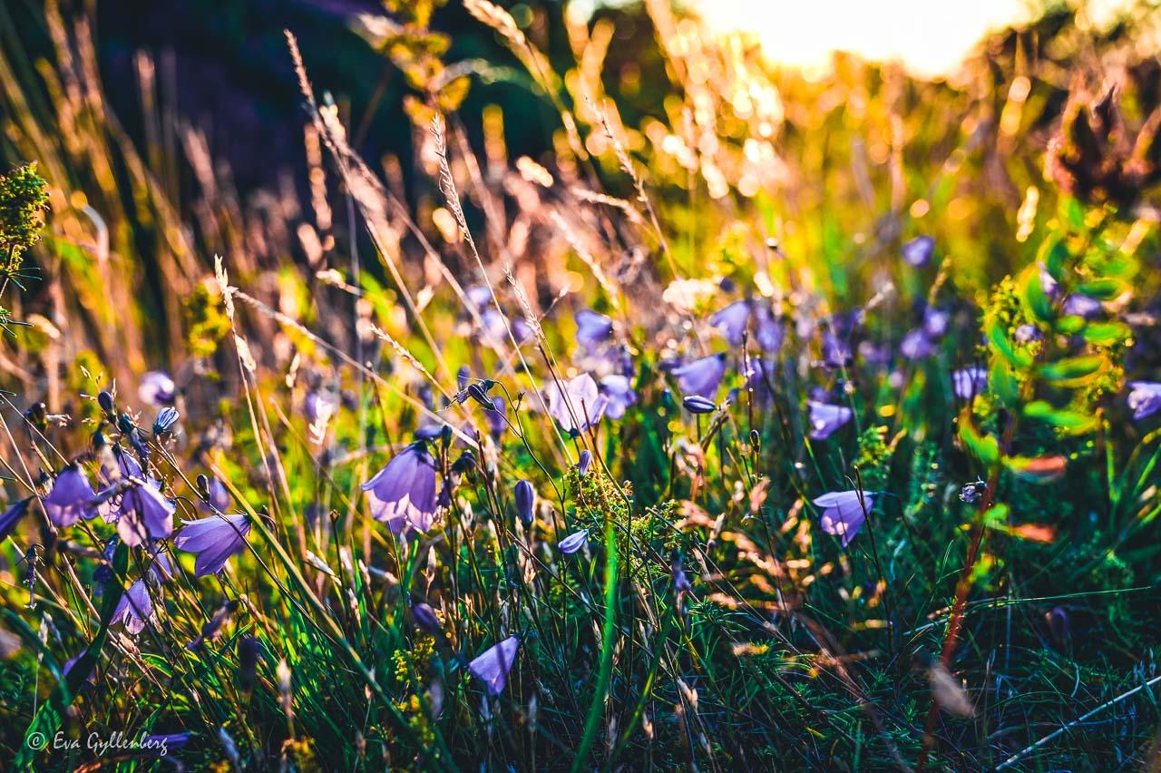 Blåsippor och gräs i motljus