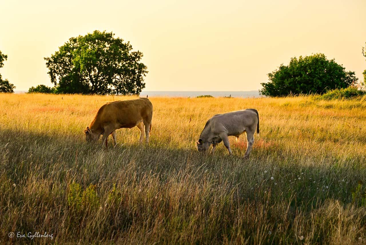 Två betande kor i solnedgång på en äng