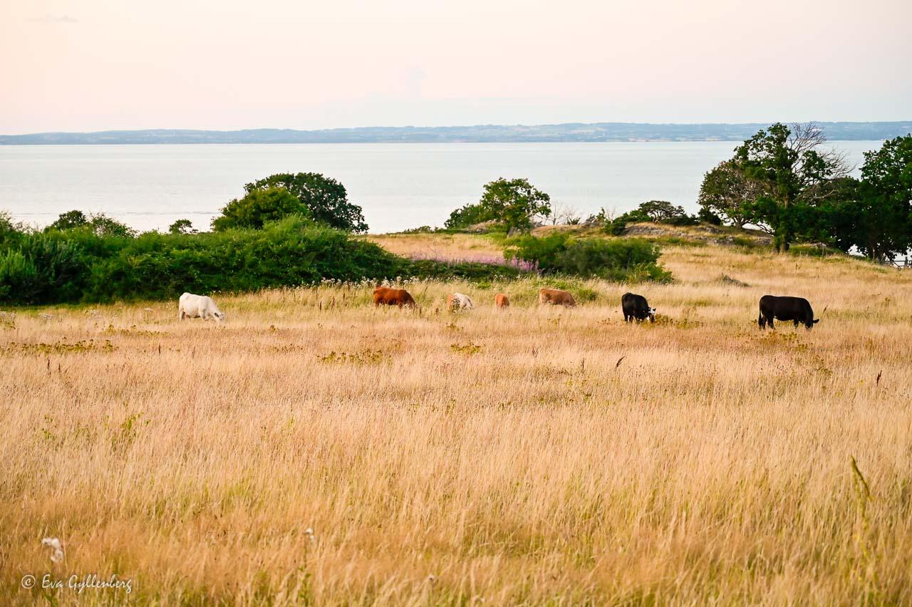 Kor betar på Skäret med Skälderviken i bakgrunden