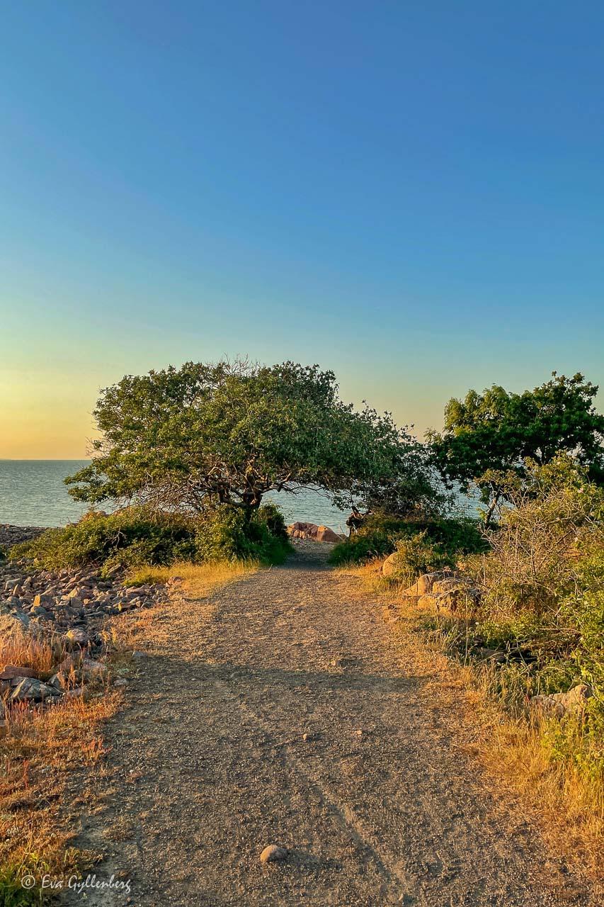 Väg ner till havet vid olivträdsliknande träd