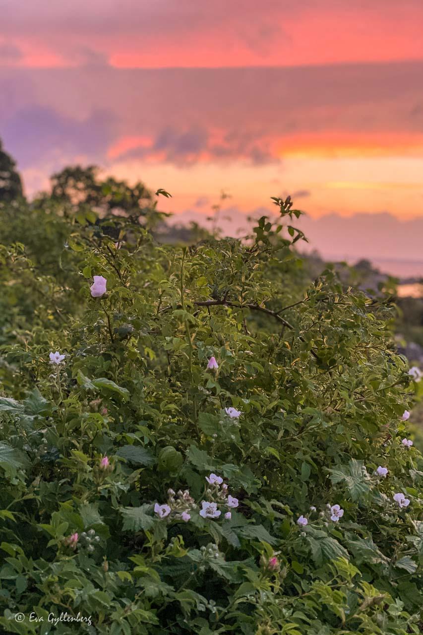 Nyponrosor i solnedgång