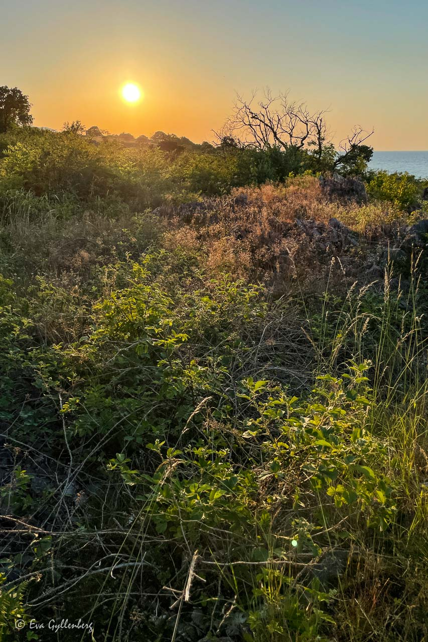 Solen går ner över björnbärsbuskar