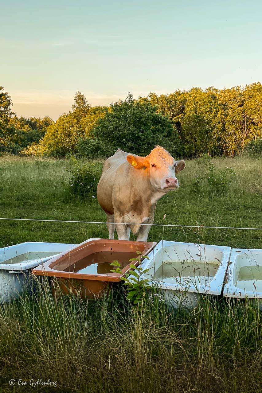 Ko i solnedgång vid vattenfyllda badkar