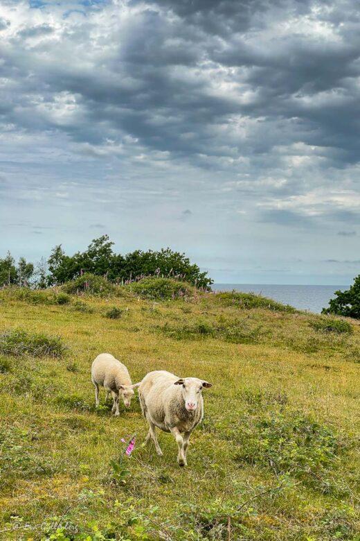 Två får går över Nabbens naturreservat