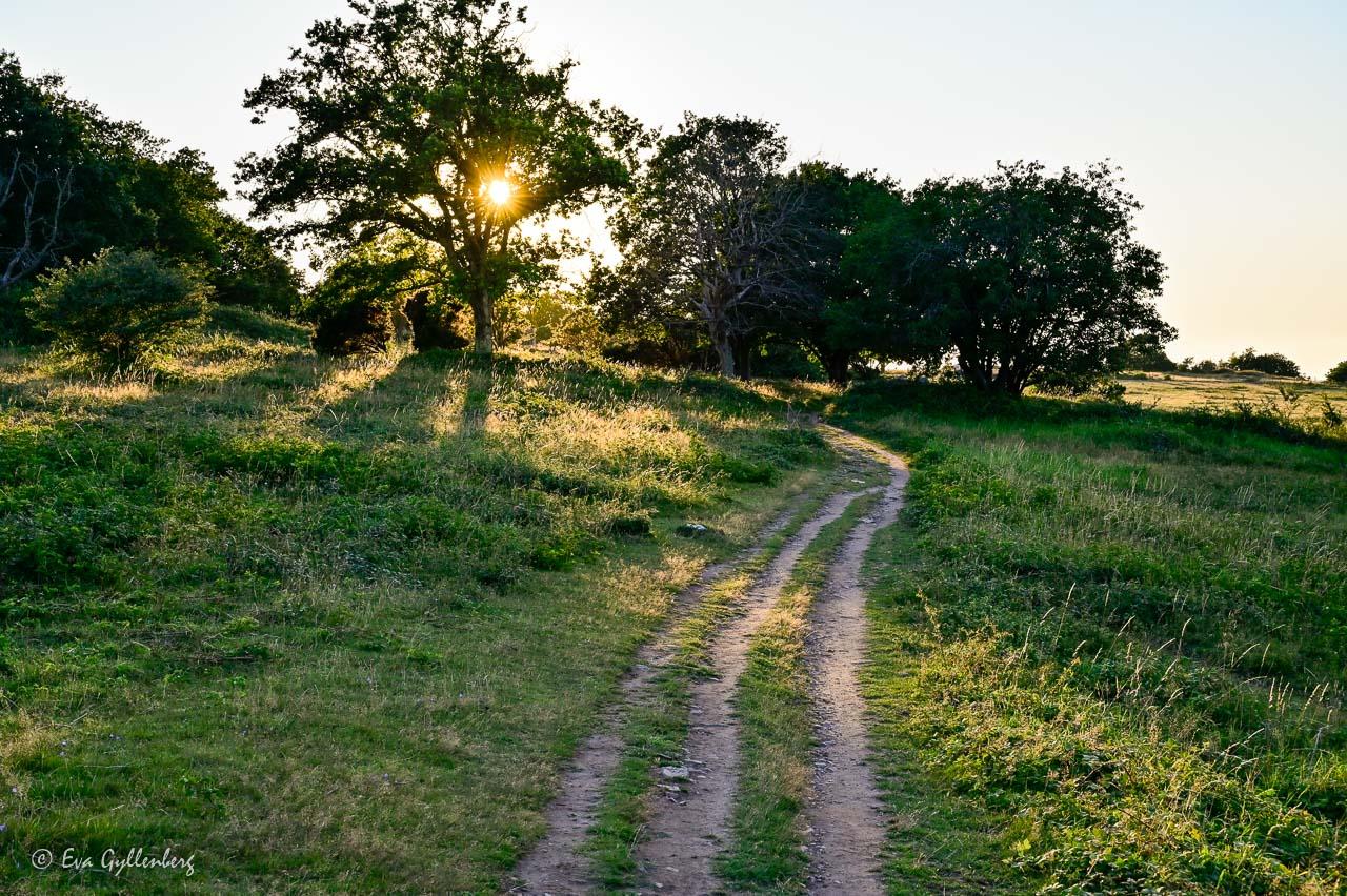 Vandringsled i solnedgång med motljus genom ett träd
