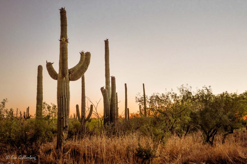 Saguaro-kaktusar i solnedgång