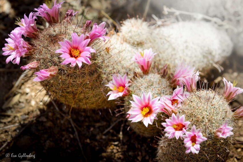 Det blommar i öknen