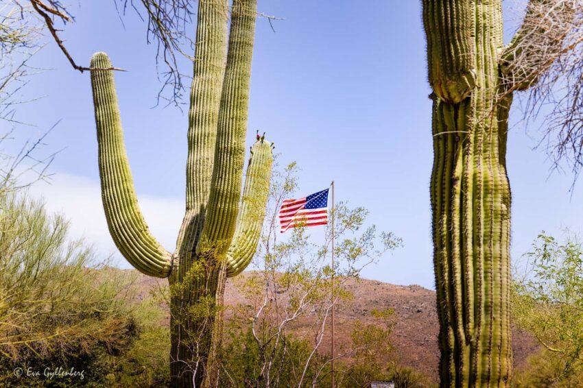 Amerikansk flagga och stora saguaro
