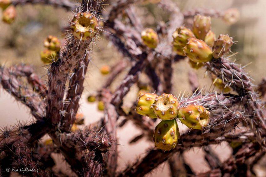 Taggig kaktus med frukter