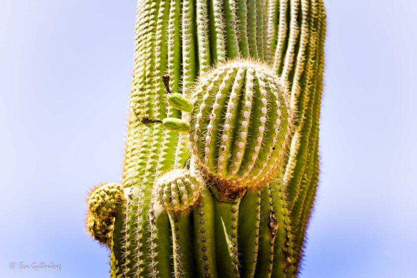 Stor kaktus med kaktusbollar