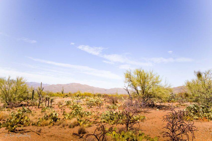 Ökenlandskap i Saguaro