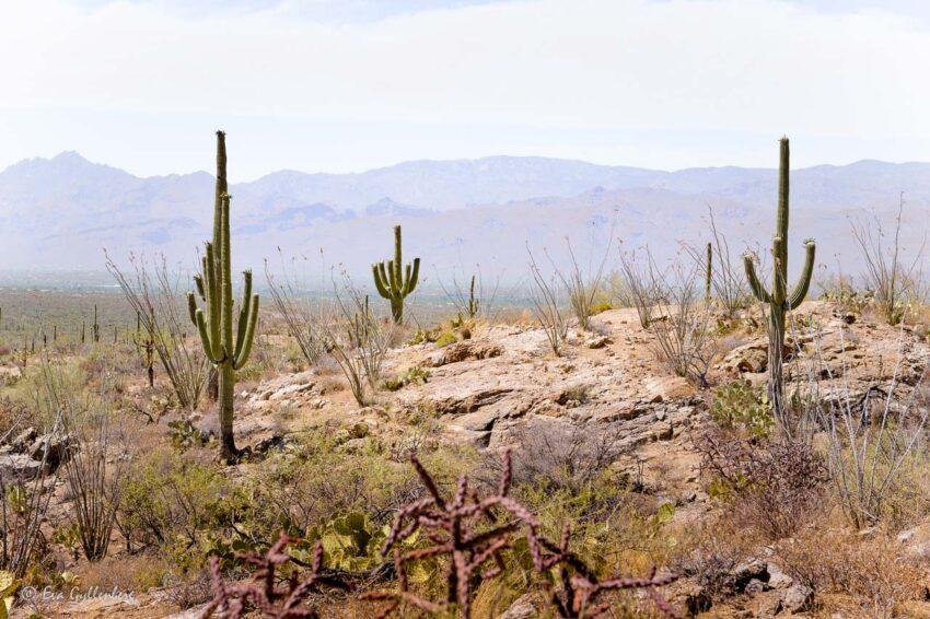 Saguaro National Park utanför Tucson, Arizona